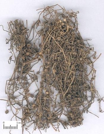白花蛇舌草1