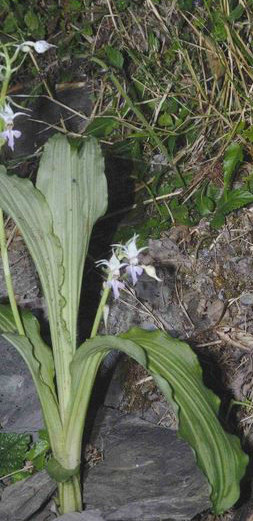 镰萼虾脊兰